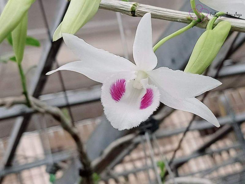 Cận cảnh chân dung bông hoa 5CT Phú Quý siêu quyết rũ.