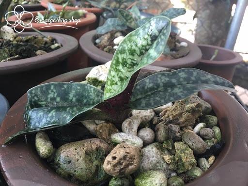 Giá thể trồng lan Hài loại lớn