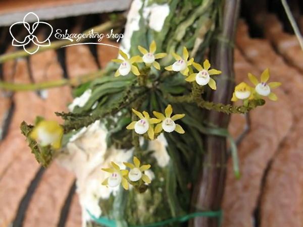 Mặt hoa lan căn diệp
