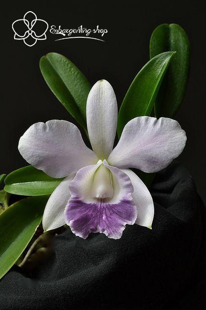 Lan Cattleya