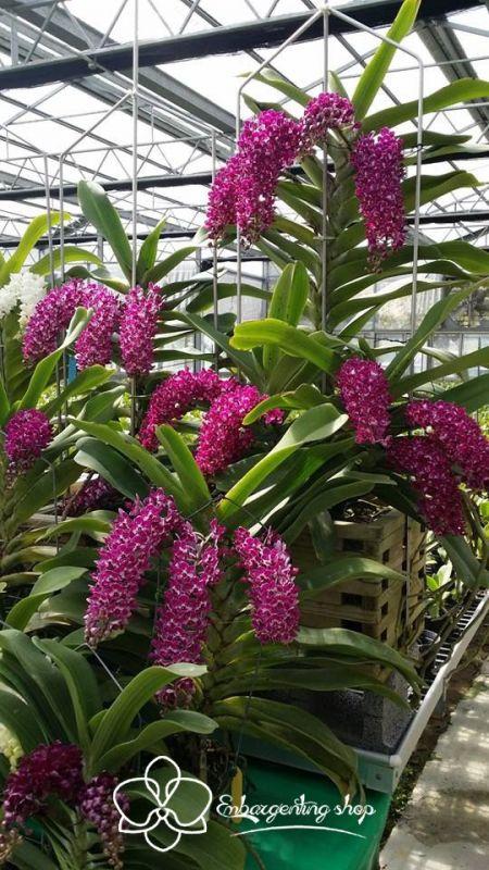 Một cây lan Ngọc Điểm chứa nhiều chùm hoa