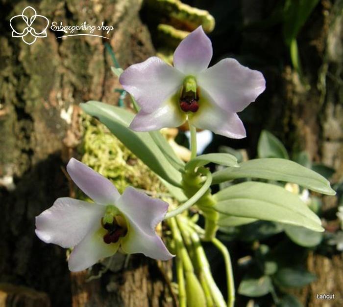 Hoa lan Trần Tuấn