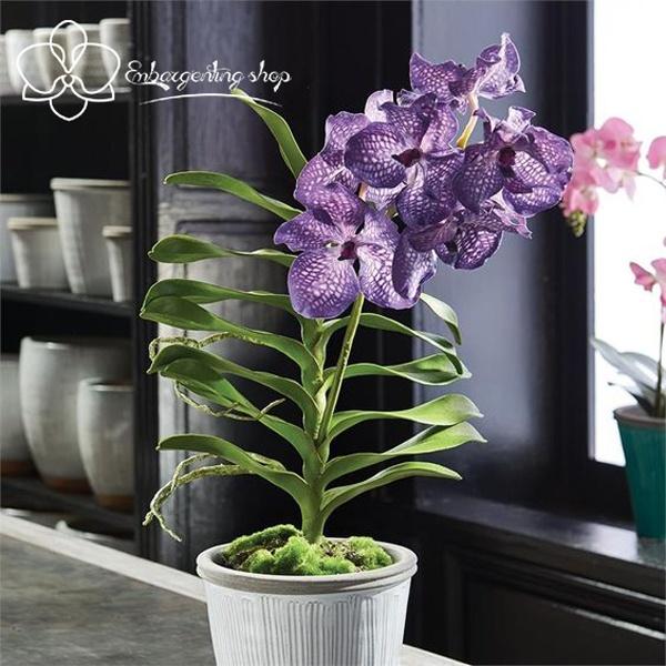 Vanda rất được chuộng dùng để trang trí trong nhà