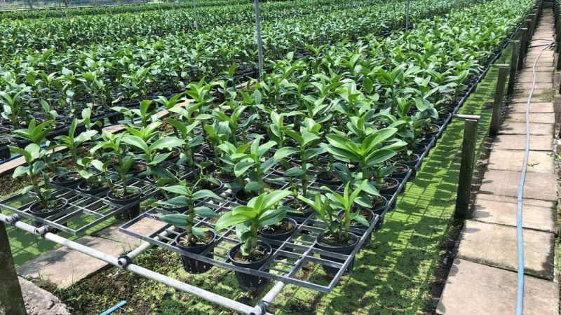 Cây giống Dendro được nuôi dưỡng tại nhà vườn Embargenting.