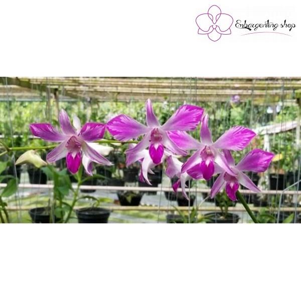 Dendro Chớp Pink Viền Xưa khi nở hoa tại nhà vườn