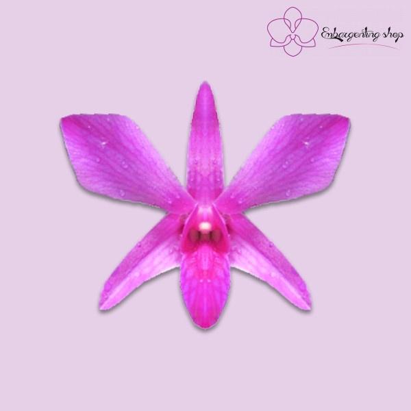 Cận cảnh chân dung hoa Dendro Xưa Pink Viền