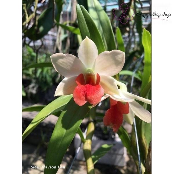 Cận cảnh bông hoa Lan Dendrobium (Frosty Dawn x Suzuki)