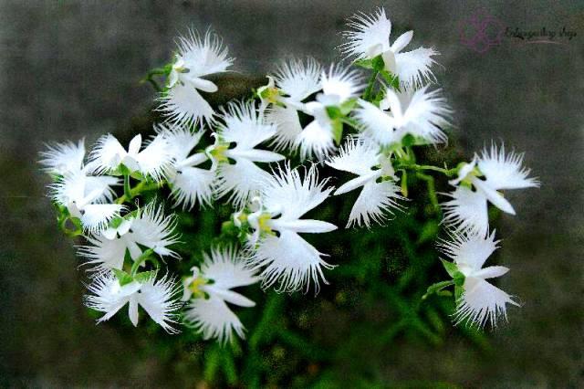Lan Bạch Hạc khi đơm hoa