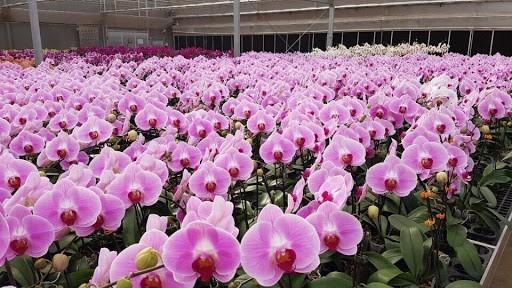 Hồ Điệp màu hồng phấn đẹp, chất lượng tại nhà vườn Embargenting