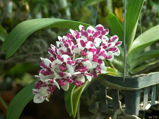 Lan Ngọc Điểm Rừng nở rộ hoa siêu đẹp.
