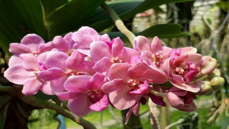 Cận cảnh lan ngọc điểm hồng cánh sen
