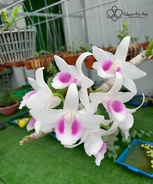 Hoa Hiển Oanh