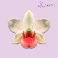 Lan Dendrobium (Frosty Dawn x Suzuki)