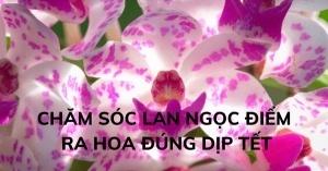 Nhà vườn chia sẻ bí quyết giúp lan Ngọc Điểm ra hoa vào đúng dịp Tết