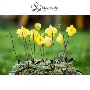 5 bước trồng lan Hài hiệu quả giúp cây bén rễ nhanh, ra hoa chuẩn tết